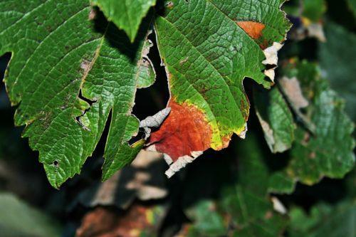 Decay On Torn Vine Leaf