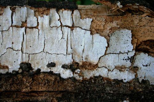 žievė, medis, skilimas, balta, ruda, tekstūra, nyksta medienos žievė