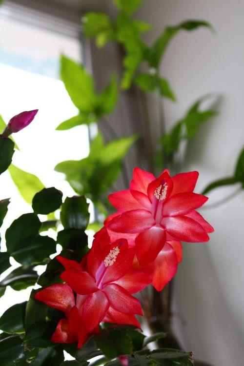decembrist,flower,pink,pink flower,flower room,winter flower,bud,greens,red,indoor plant,beautiful flower