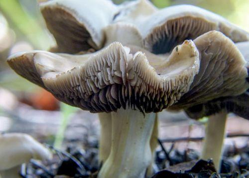 deceptive milkcap lactarius deceptivus peck mushroom