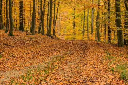 deciduous forest beech wood trees