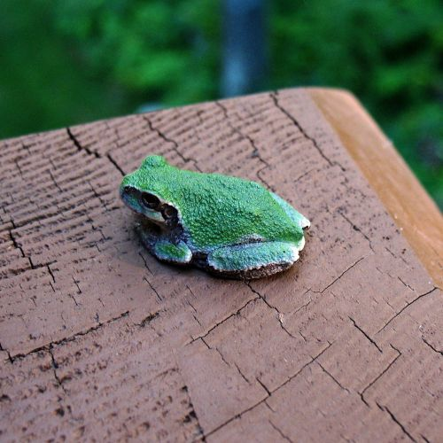 deck tree frog minnesota