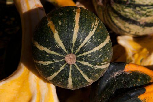 decorative squashes cucurbita cucurbitaceae