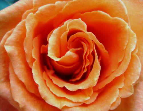 Deep Apricot Rose