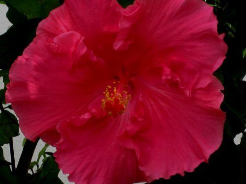 Deep Pink Hibiscus