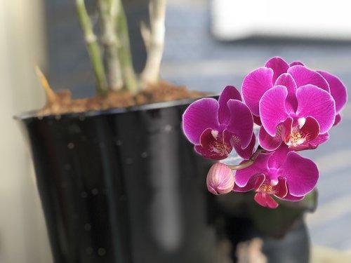 deep purple  orchid  bloom
