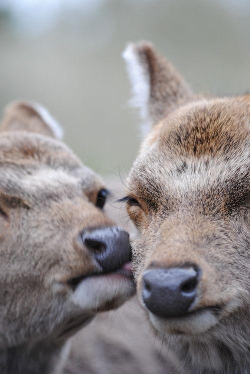 deer affection tlc