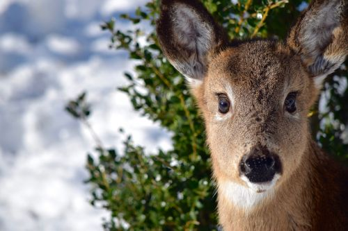 deer doe close-up