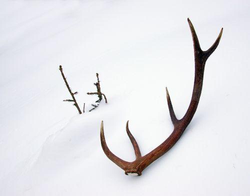 deer horns stage