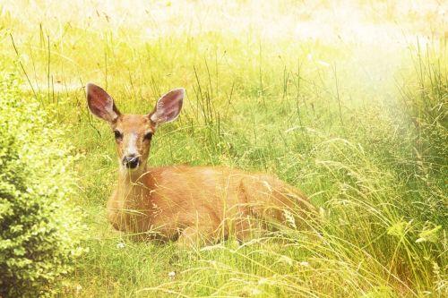 deer yellow nature