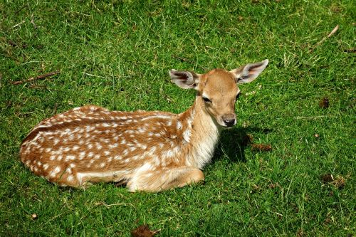 deer deer calf doe