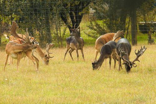 deer deer park fallow deer