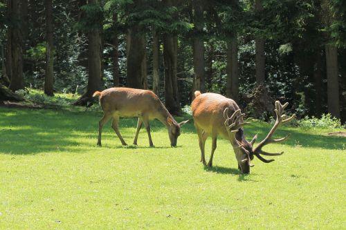 deer hirsch wild