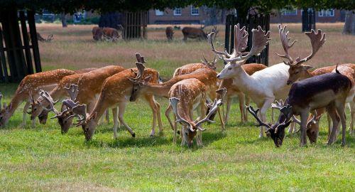 deer roe deer herd