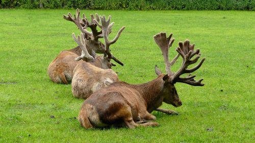 deer deer antler wild