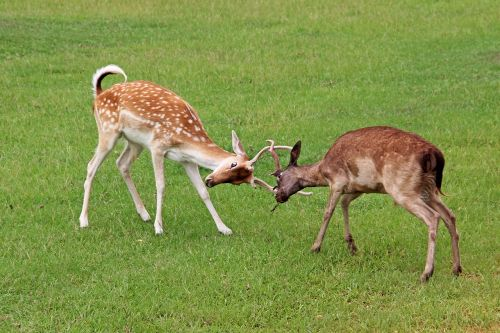 deer fight fighting