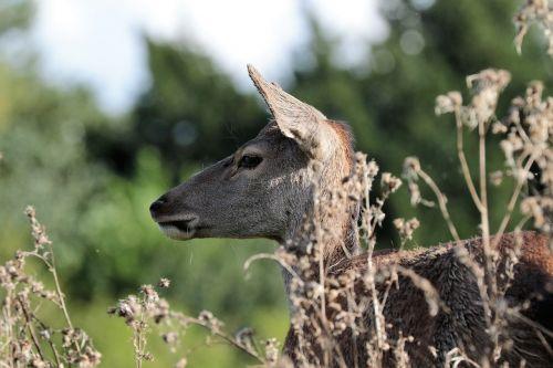 deer doe animal