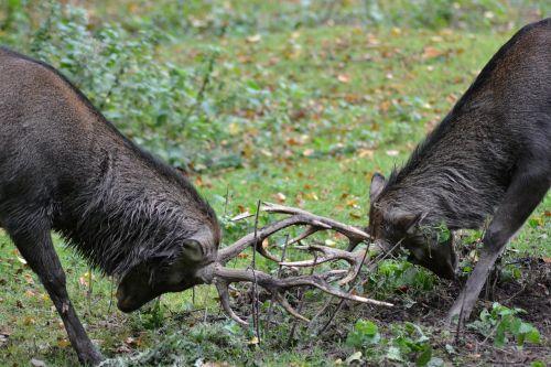deer sika deer fight