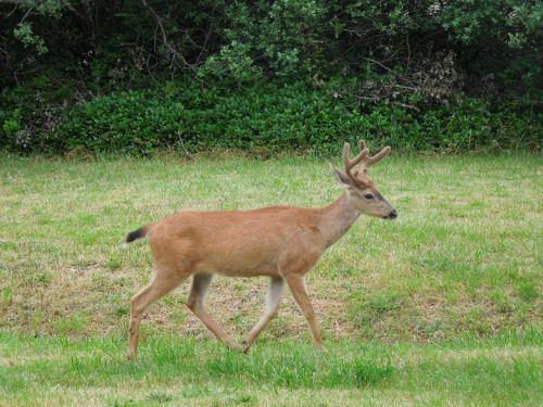 deer running field