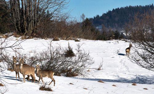 deer forest winter