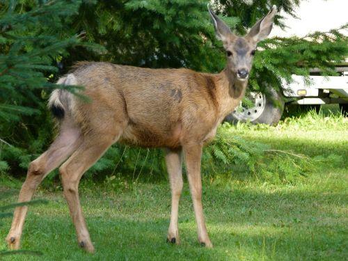deer animals mammal