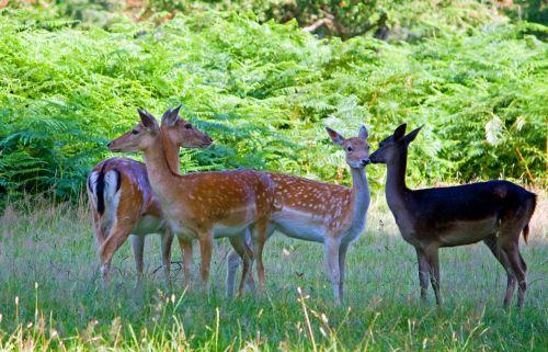 deer fallow deer herd