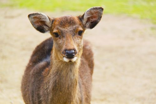 deer animal nara deer park
