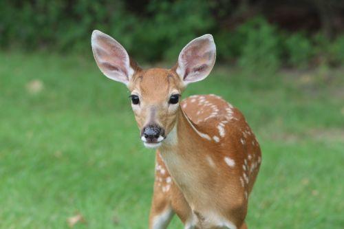 deer fawn animal