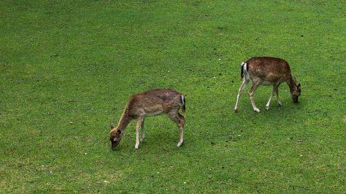 deer wild fallow deer
