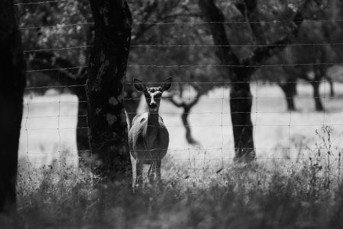 deer dehesa field