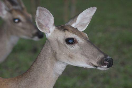 deer doe nature