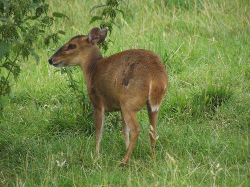 deer bambi cute