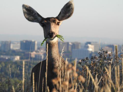 deer denver wildlife