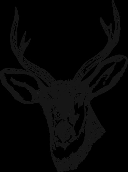 deer stag venison