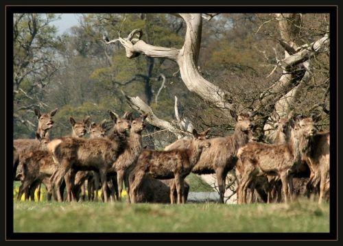 deer sambar mammal