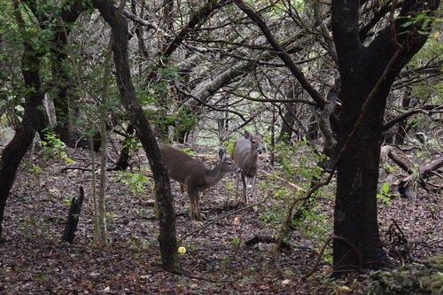 deer  trees  canyon