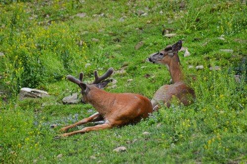 deer  white tail  nature