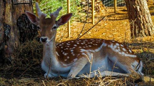 deer  nature  animals
