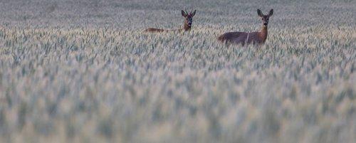 deer  red  grass