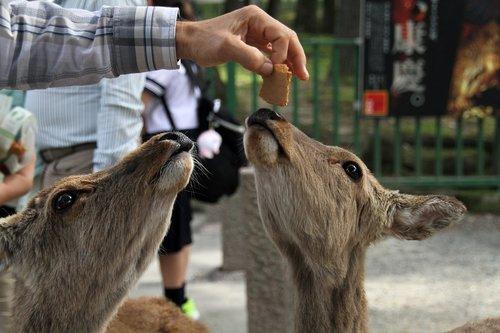 deer  feeding  nature