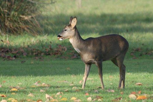 deer  autumn  wildlife