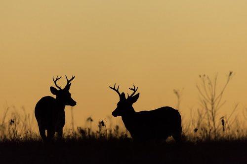 deer  whitetail  bucks