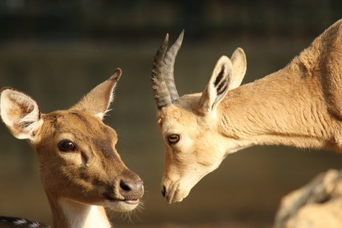 deer  gazelle  animals
