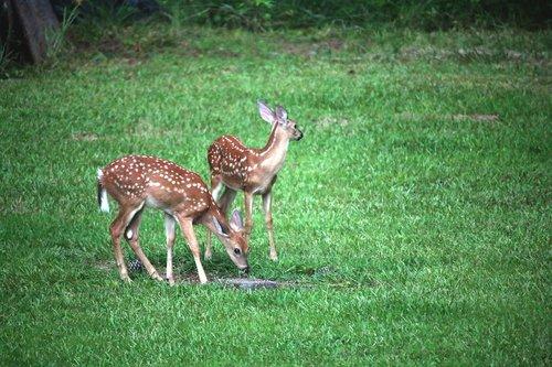 deer  fawn  doe