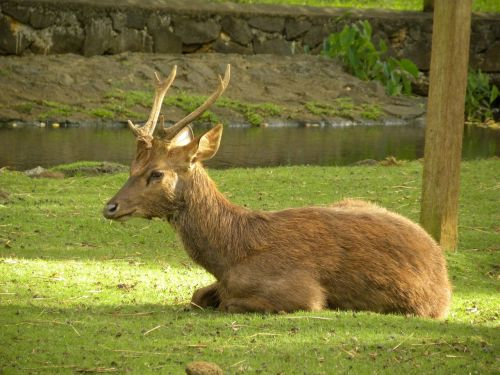 deer male captive