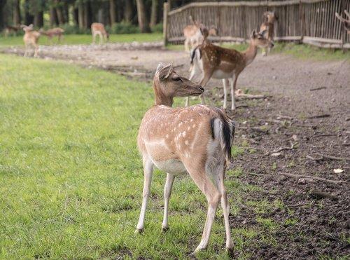 deer  nature  forest