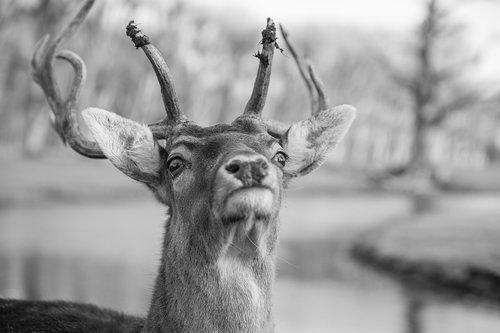 deer  fallow deer  fallow
