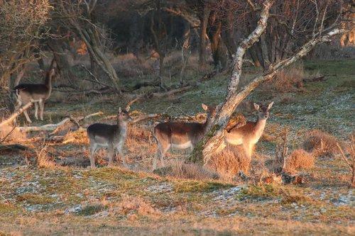 deer  nature  wild