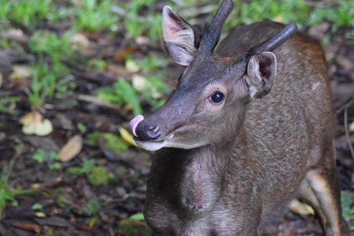 deer  sambar deer  sambar