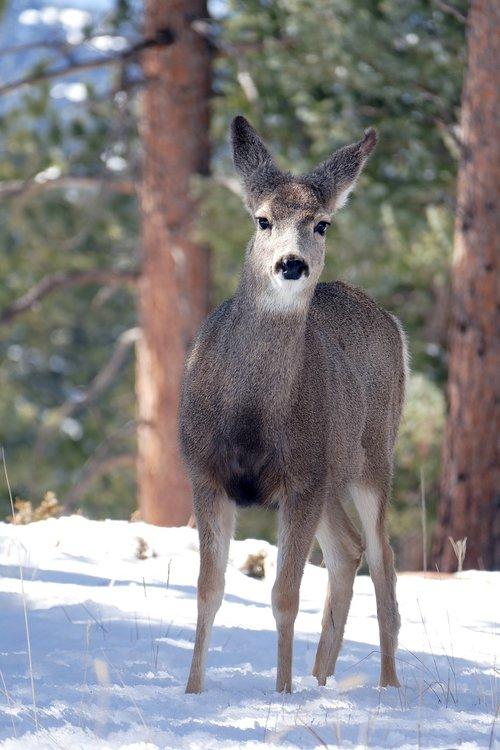 deer  wildlife  nature